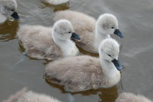 Baby swans by Rovanite