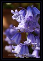 Blue bells by GryphonClaw