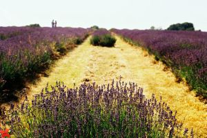 Lavander Fields Forever by yama-dharma