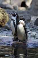 Penguin 1 by almudena-stock