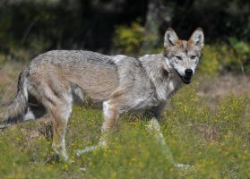 Mexican Wolf 3766 by robbobert