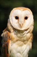 Barn owl. by Evey-Eyes