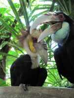 Hornbills by SGreavesPhotography
