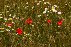 Poppies and Daisies... by TheBaldingOne