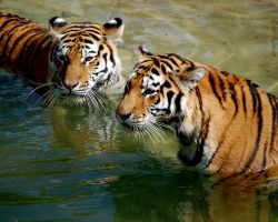 Swimming Tigers by onummyo