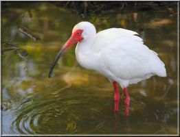 The White Ibis 2 by SalemCat