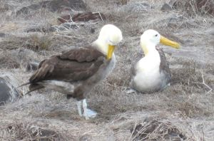 Albatross Pair by Jarahamee