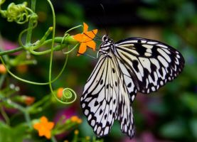 Butterfly 7 by horus40