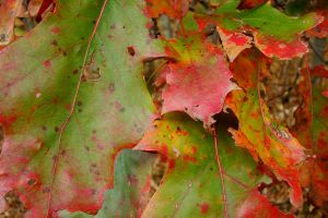 Oak Leaves by asaph70