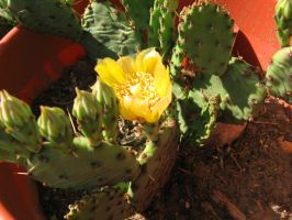 Opuntia Flower by pyromobile