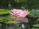 More lilly pad,pic 2 by Nipntuck3