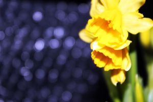 -Narcissus pseudonarcissus- 1 by Noeth