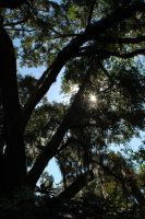 Spanish Moss and Old Oaks by ImaginingJackie