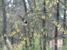 Chickadee in a Tree by Aurora-ASB