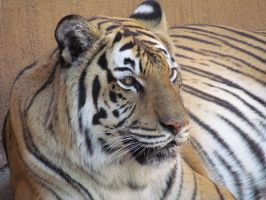 RGZ Oct24: Tiger 1 by FamilyCanidae