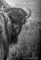 Grumpy Bison by abstractcamera
