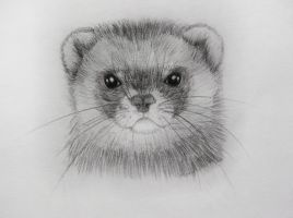 Ferret being serious by Panda-kiddie