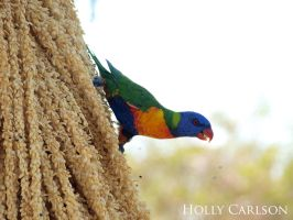 Rainbow Lorikeet by hollybambam