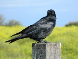 Crow 002 - HB593200 by hb593200