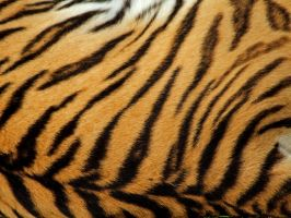 tiger stripe wallpaper by redbeard31