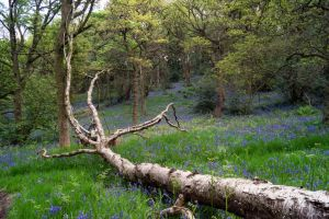 Bluebell Wood (Derbyshire) by woody1981