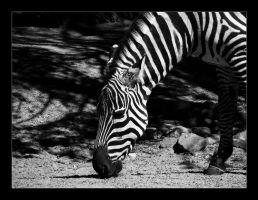 Zebra black and white by hamti