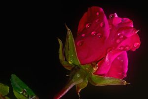 Romance the rose by cprmay