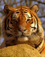 Siberian Tiger by naturelens