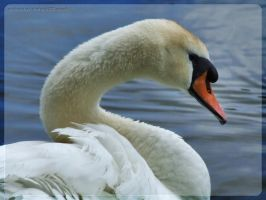 male mute swan by webcruiser