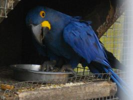Hyacinth macaw 2 by Storm-The-Bird