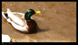26.05.2012 Ducks 14 by Mildy