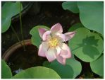 Lotus Flower by flamingarrow