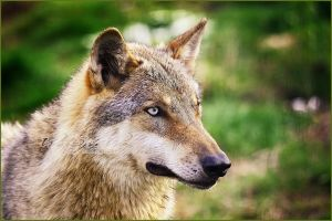 .: Greyish Eye :. by WhiteSpiritWolf