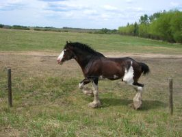 Clydesdale Stallion 2 by okbrightstar-stock