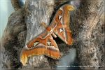 Attacus atlas by Ghostfeather
