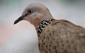 Spotted Turtle-Dove 03 by 88-Lawstock