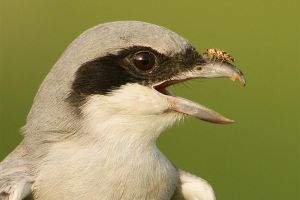 Oye stop bugging me - southern grey shrike and bug by Jamie-MacArthur