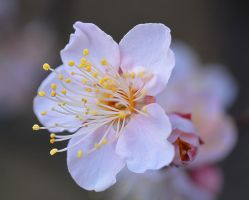 Japanese apricot03 by osam-devet