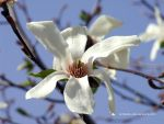 White Magnolia Over My Head by eMBeeL