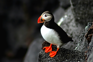 Lonely Puffin by kingwicked