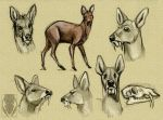 Water Deer sketches by Autlaw