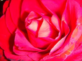 Red Rose by metalchick200615