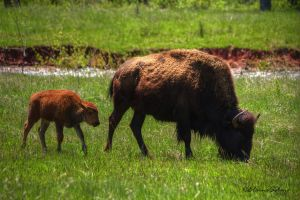 Bison with Calf - 4 by ElaineSeleneStock