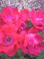Cluster of Single Roses by FroggieFaith