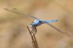 Dassia dragonfly August 2014 7 1 by melrissbrook