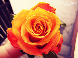 Yellow Rose by szdora91