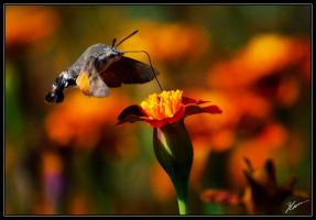 Hummingbird hawkmoth by darkfyrfly