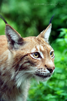 Lynx close-up by Rynvord