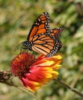 Butterfly 1 by jcphotos