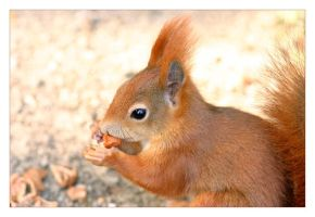 Red Squirrel by marble911